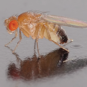 Drosophila melanogaster (male) (Bild: aka/André Karwath)